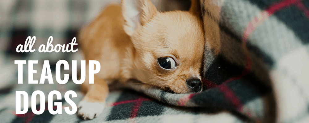 What Are Teacup Dogs The Truth About Teacup Pups