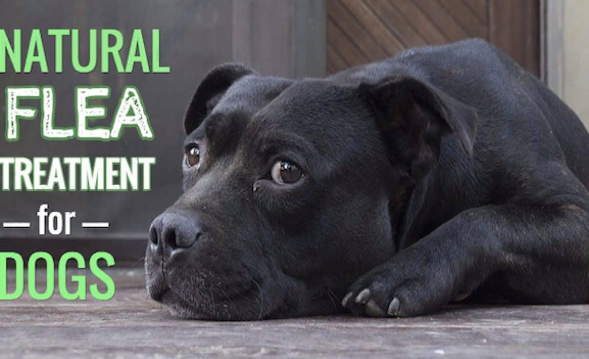 Flea repellent for dogs diy