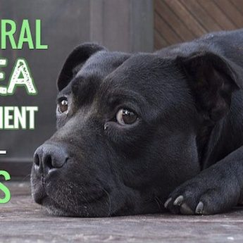 natural-flea-treatment-for-dogs