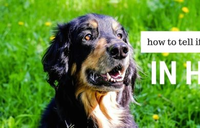 how long does a female dog stay in heat
