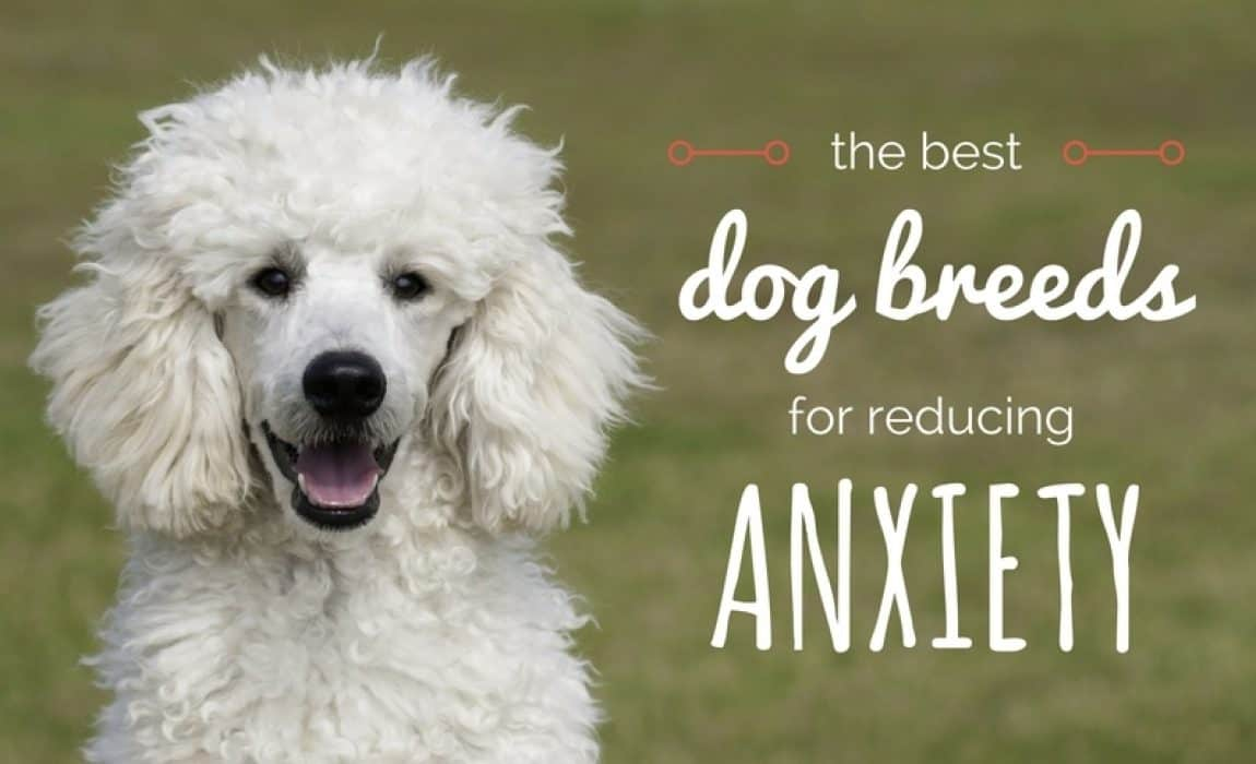 14 Best Dogs For Anxiety: The Most Comforting Canines!