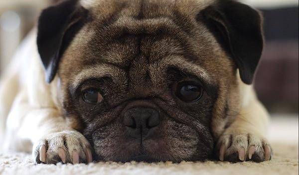 pugs for depression