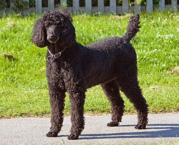 standard-poodle-for-anxiety