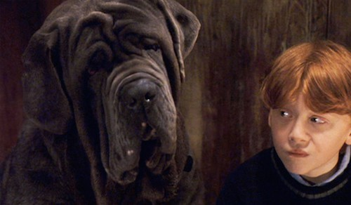 What Breed Of Dog Is Fang Of Harry Potter