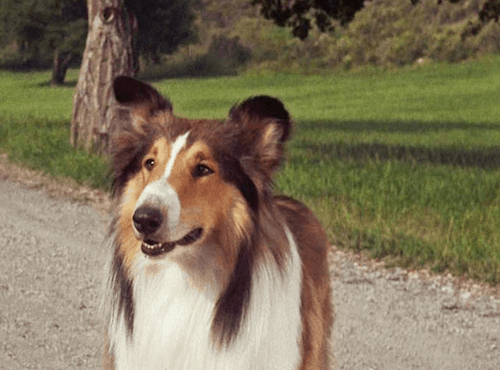what type of dog is lassie