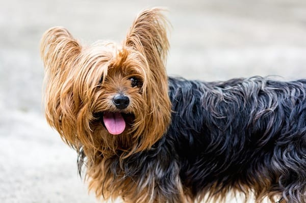 yorkshire-terriers-for-anxiety