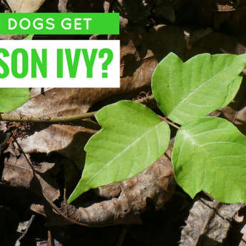 can dogs get poison ivy