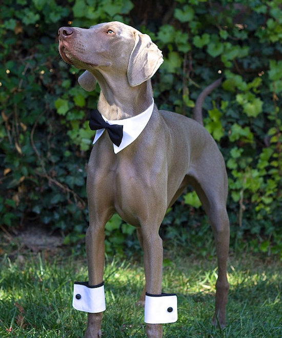 10 Adorable Pieces of Dog Wedding Attire: Classy Canine Clothing!