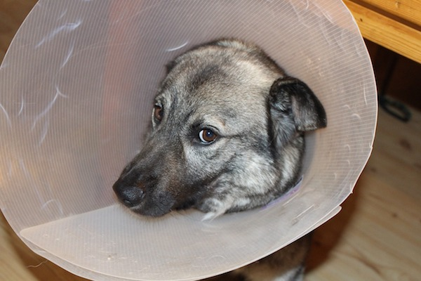 how do dogs get ringworm?
