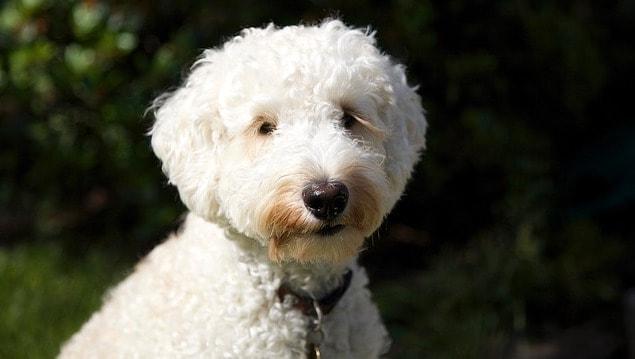 best hypoallergenic dog breeds