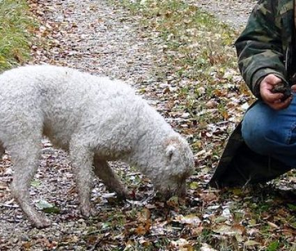 best truffle hunting dogs