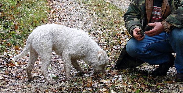 Truffle Hunting Dogs 101: How Dogs Help Owners Sniff Out