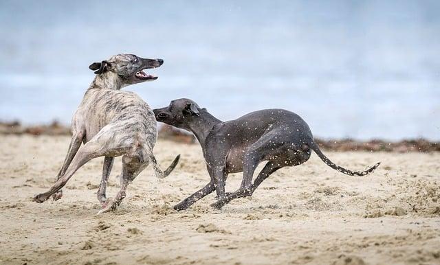 greyhound-dogs