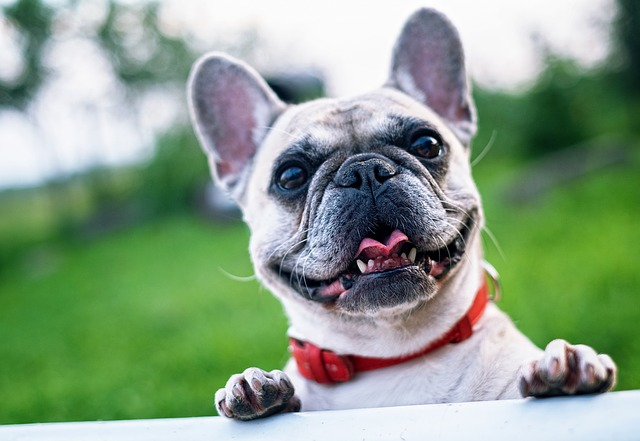 french bulldog for single guys
