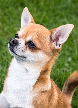 ... best-dog-food-for-chihuahuas