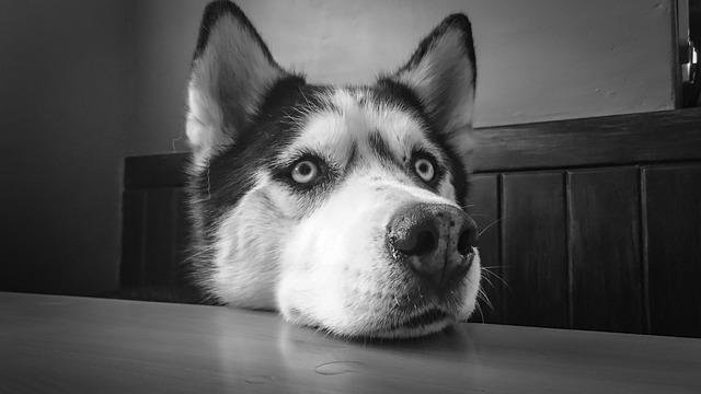 Best Food Brand For Huskies