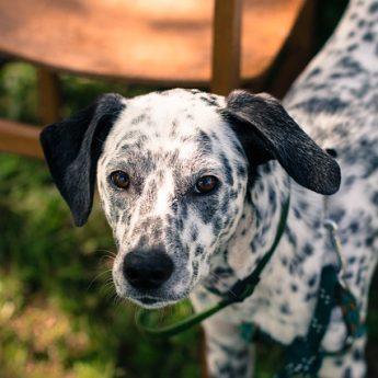 dalmatian for hiking