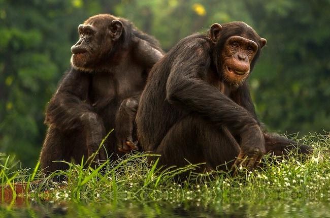 gay bonobo