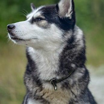 husky dog food