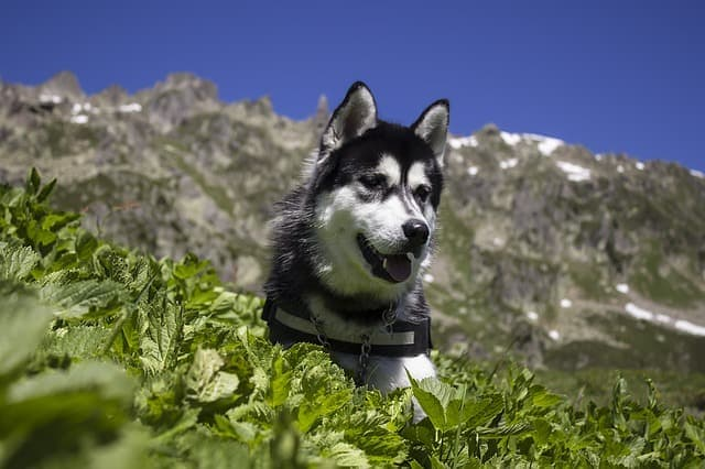 husky dog hiking