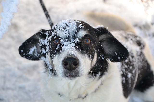 short haired dogs winter