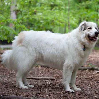 great pyrenees guard dog
