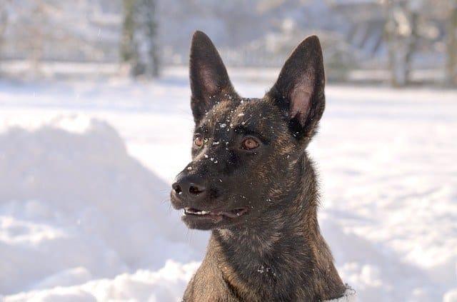 dutch shepherd police dog