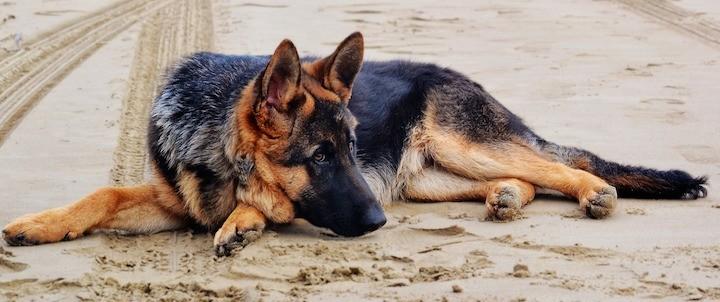 german shepherd dog food