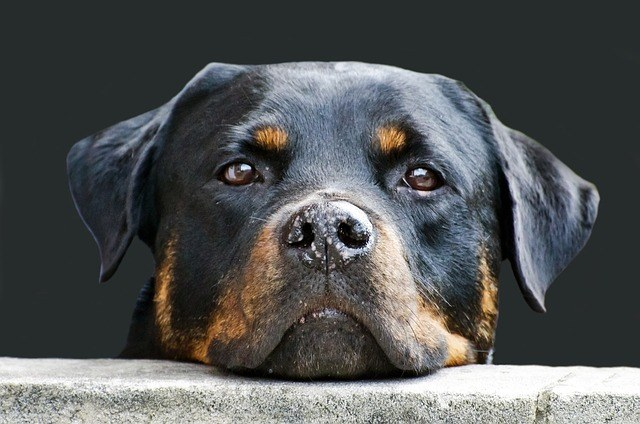 rottweiler guard dog