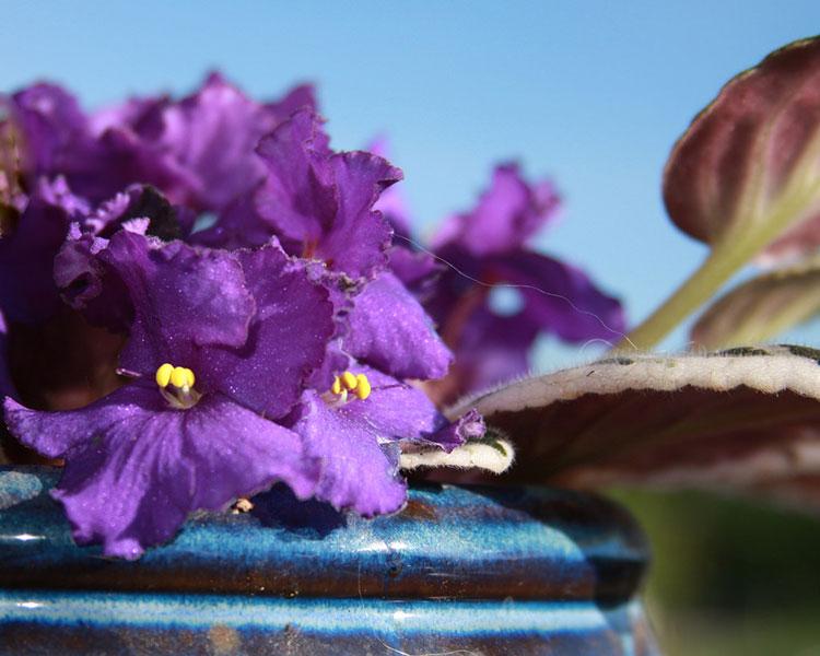 African Violet