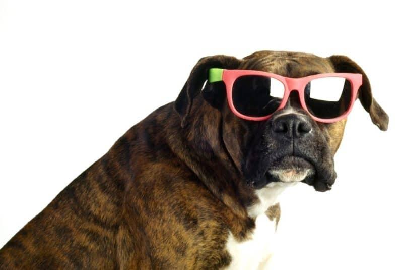 best brindle dog breeds