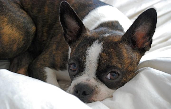 brindle boston terrier