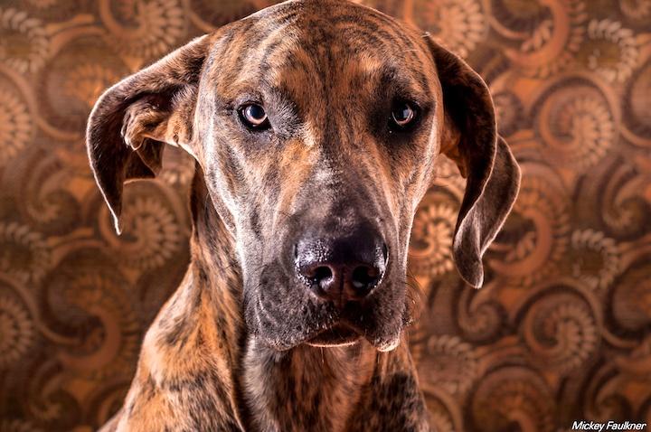 13 Brilliant Brindle Dog Breeds: Striped Colors & Lookin' Good!