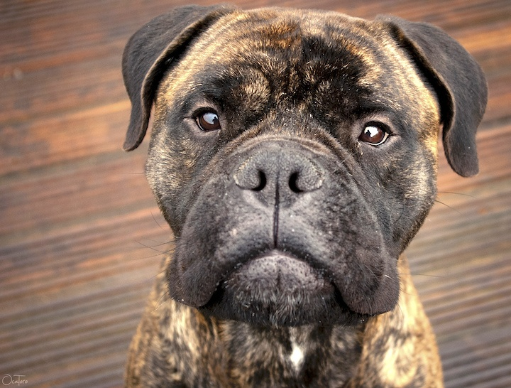 13 Brilliant Brindle Dog Breeds: Striped Colors & Lookin' Good!