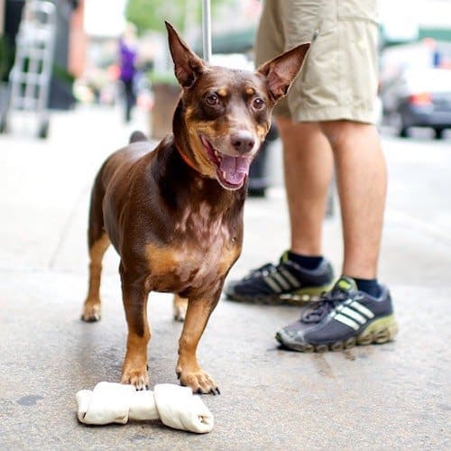 15 Adorable Doberman Mixes: Black, Brown, and Awesome All ...