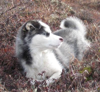 Huskador 101 All About Huskadors Husky Labrador Mix