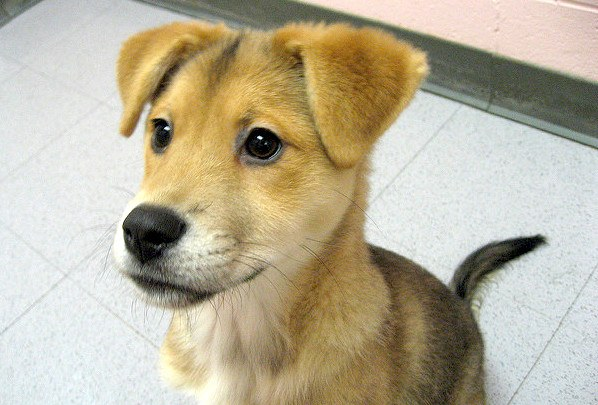 More About the Labrador Retriever Husky Mix - Dogable