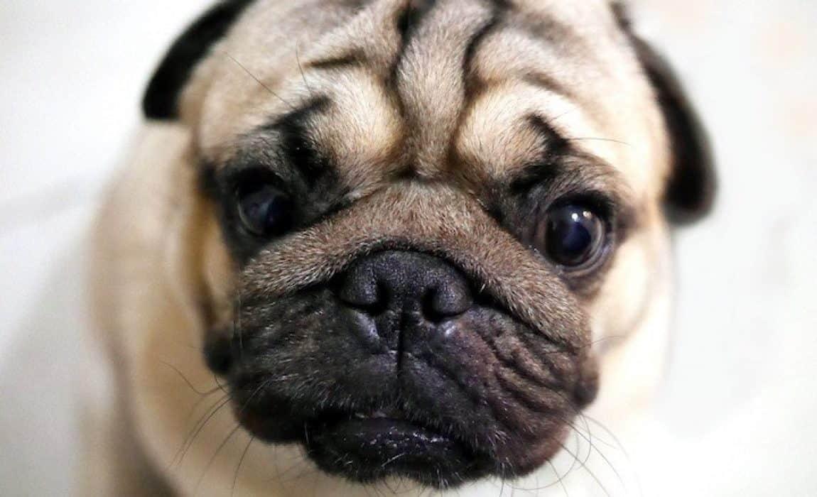 16 Pug Mixes Perfect Pug Mixes Breeds You Cant Resist