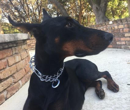 dog with prong collar