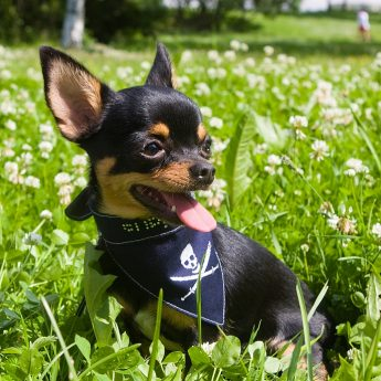Apple-Head-Chihuahua