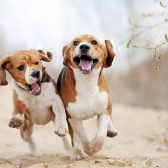 Best Foods for Beagles