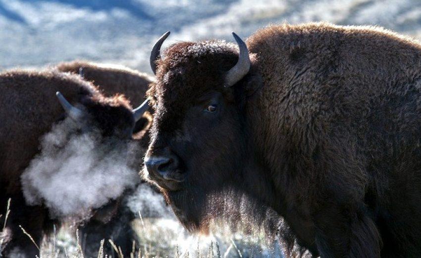bison-dog-food