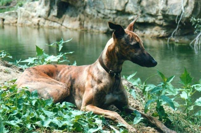 brindle-whippet