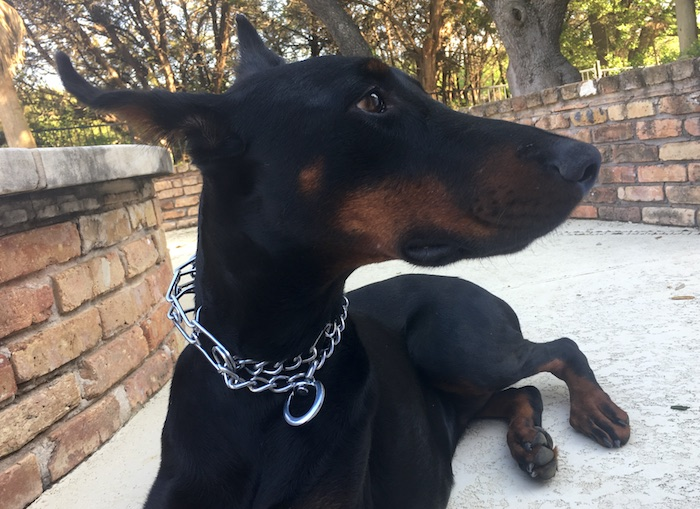 6 Best Chain Amp Prong Dog Collars How To Use Safe