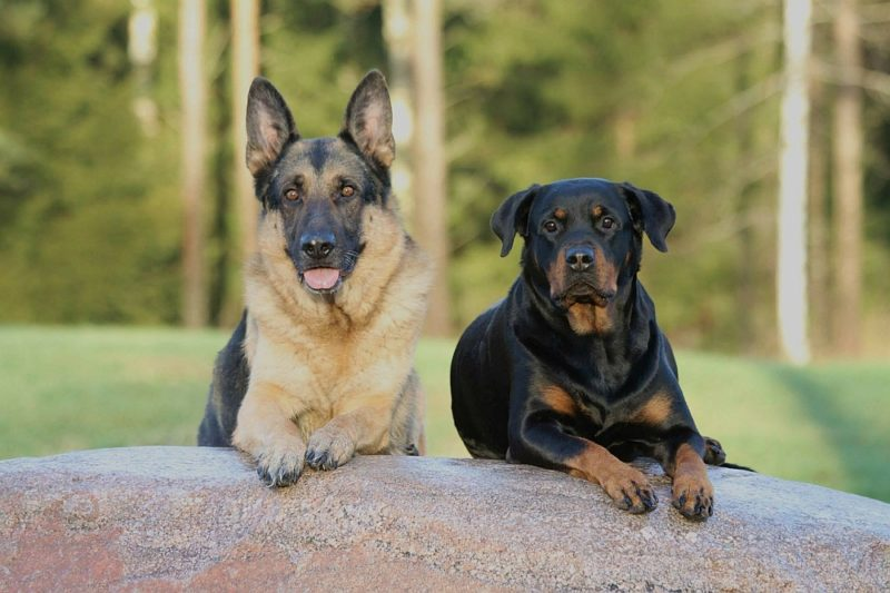 15 Great Rottweiler Mixes Rottie Mixed Breeds For The Win