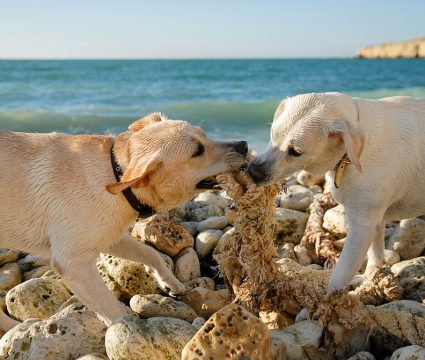 dog-eating-rocks-pica