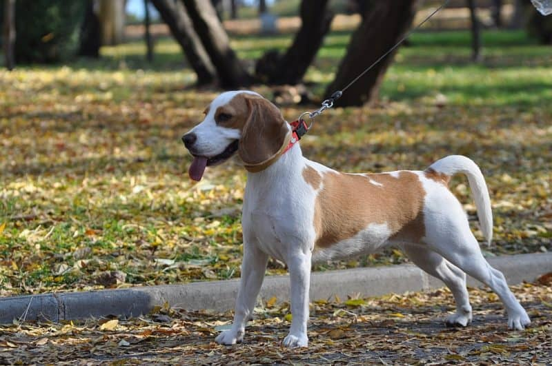 beagles police dogs