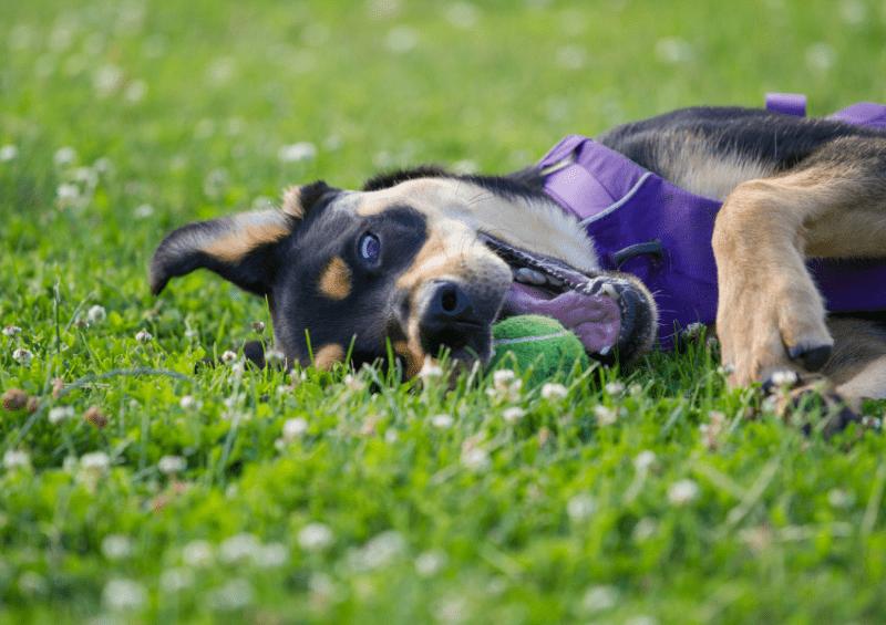 rottweiler border collie