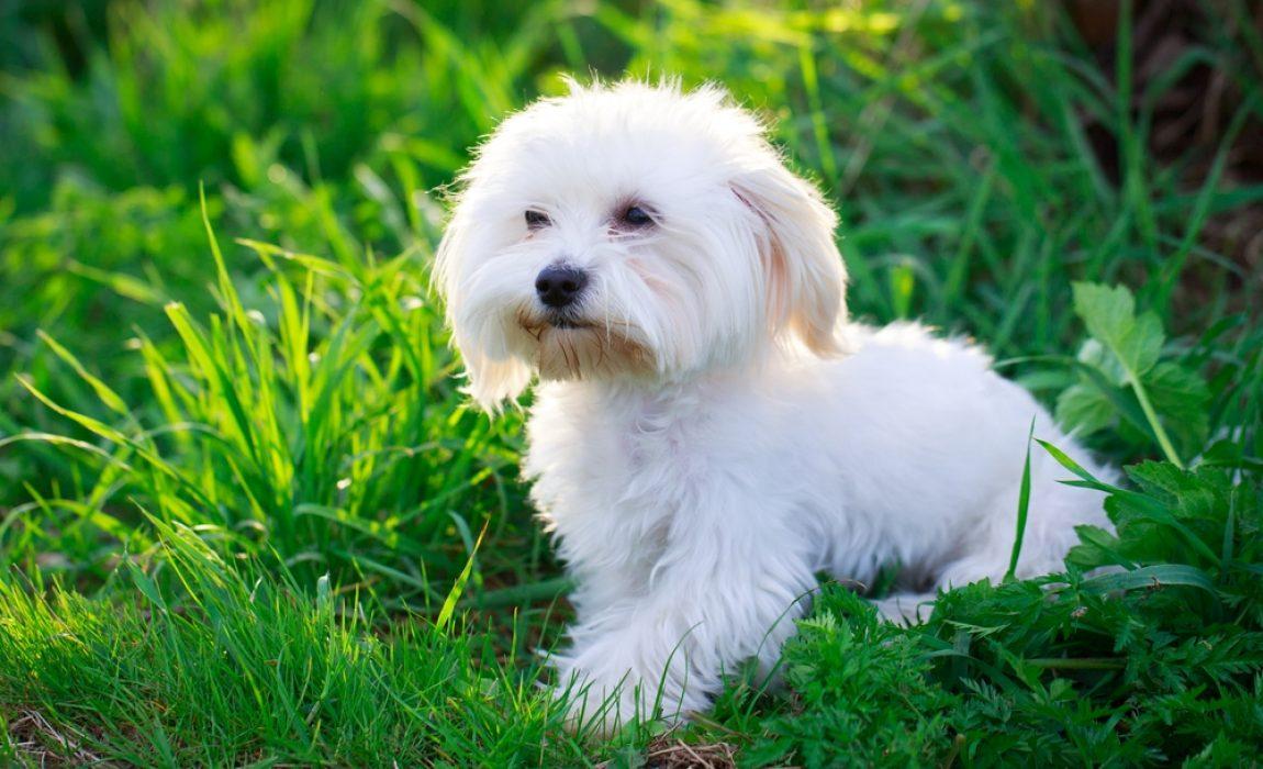 best_maltese_dog_food
