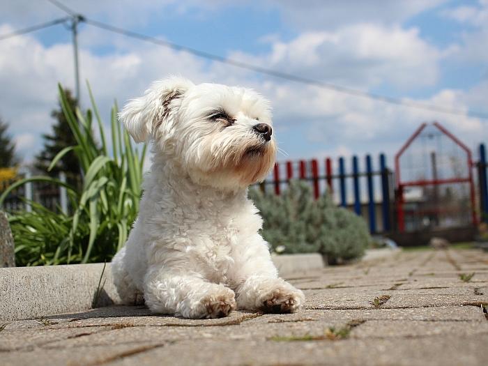 best_maltese_foods_for_dogs
